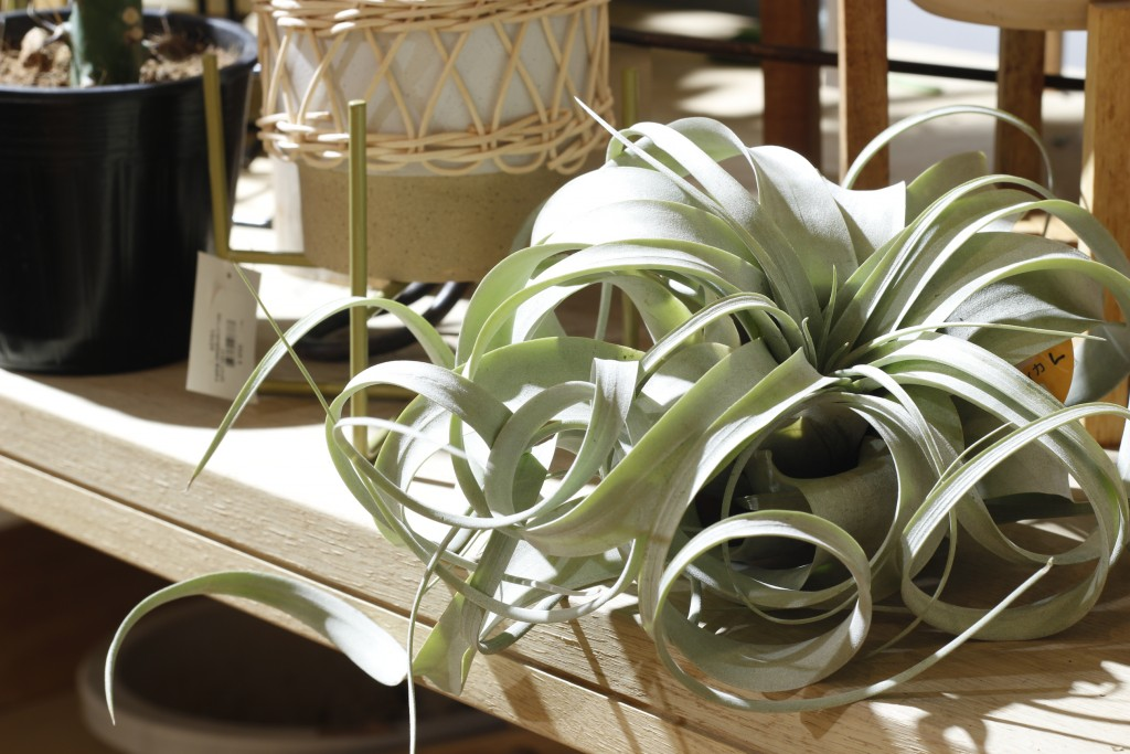 AIRPLANT